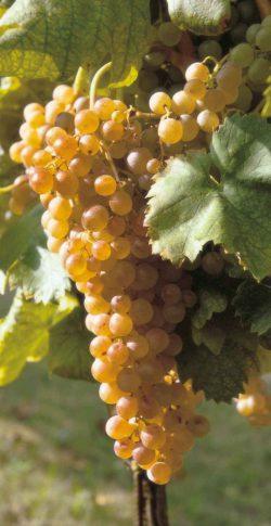grappolo-uva-vini-bianchi-lago-di-garda